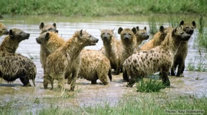 hyena_group